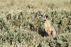棒有耳的狐狸狩猎 库存照片