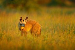 棒有耳的狐狸, Otocyon megalotis,从非洲的豺狗 罕见的野生动物,平衡在草的ligt 野生生物场面, Nxai平底锅国民 免版税库存照片