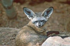 棒有耳的狐狸 免版税库存图片