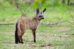 棒有耳的Fox预警姿势。 库存照片