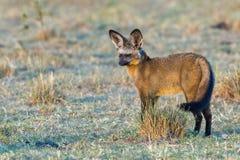 棒有耳的Fox,身分,尾巴甩 免版税图库摄影