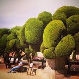 棒棒糖修剪的花园树 免版税库存照片
