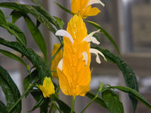 棒棒糖或金黄虾厂Pachystachys lutea花特写镜头,选择聚焦,浅DOF 库存照片