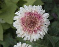 棒棒糖格伯雏菊绽放的特写镜头视图 免版税库存图片