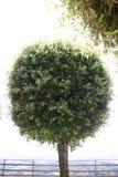 棒棒糖结构树 免版税库存照片