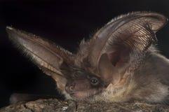 棒, Plecotus austriacus画象  库存照片
