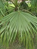 棕榈、锯& x28; 棕榈果Repens& x29;绿色锯矮棕榈条 免版税库存图片