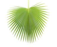 棕榈叶。 免版税库存照片