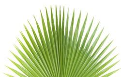 棕榈叶。 免版税库存图片