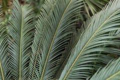 棕榈叶在密林 库存照片