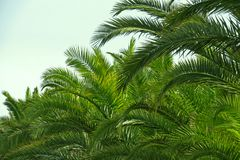 棕榈叶状体和蓝天在沙丁鱼 图库摄影