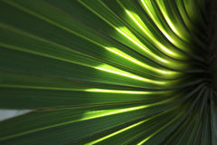 棕榈叶状体背景3 免版税图库摄影