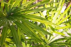 棕榈叶状体锯矮棕榈条叶子 免版税库存照片