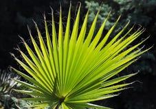 棕榈叶状体 免版税图库摄影