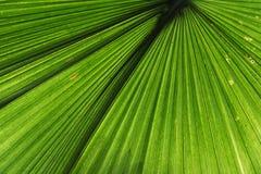 棕榈叶的细节视图 免版税库存照片