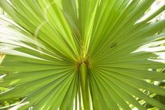 棕榈叶纹理 免版税图库摄影