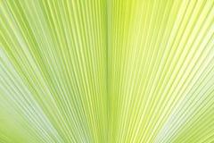 棕榈叶纹理 免版税库存图片