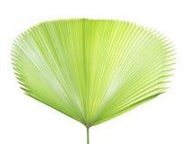 棕榈叶纹理 图库摄影