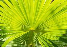 棕榈叶背景 免版税库存照片