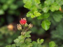 棕榈叶莓果子 免版税图库摄影