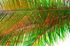 棕榈叶-与红色淡色调的抽象自然绿色背景  免版税库存图片