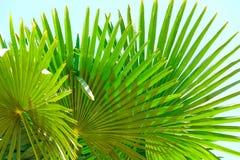 棕榈叶 免版税库存图片