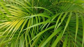 棕榈叶 免版税库存照片