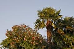 棕榈和夹竹桃树在加尔达湖的,威尼托,意大利拉齐塞 免版税库存图片