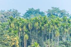 棕榈和树在印度密林在有雾的早晨 免版税库存图片