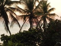 棕榈和海葡萄树在剪影在日落, FL 库存图片