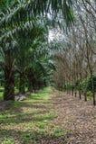 棕榈庭院混合橡胶树 库存照片