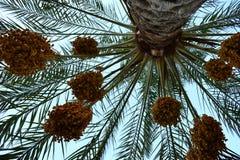 棕榈日期 免版税库存照片