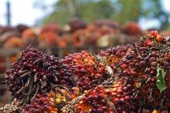 棕榈果子 免版税库存图片