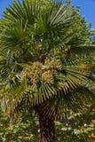 棕榈果子 免版税库存照片