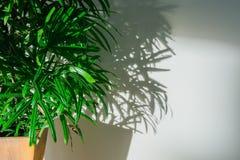 棕榈树叶子和阴影在白色墙壁上 库存图片