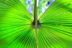 棕榈树叶子在热带 背景 库存图片