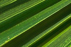 棕榈树叶子特写镜头 免版税库存图片