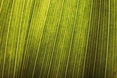 棕榈树叶子的极端接近的纹理-异乎寻常的植物的充分的框架背景 生气勃勃、纯净&宁静背景 免版税图库摄影
