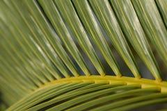 棕榈树叶子 免版税图库摄影