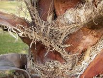 棕榈树吠声和吠声纤维特写镜头  库存图片
