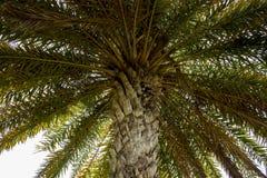 棕榈树和它离开,当逗留在树下并且在上面和叶子时查寻 免版税库存照片