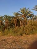 棕榈树和新鲜的棕榈在Ouargla阿尔及利亚结果实收获 棕榈收获城市的Ouargla一 库存照片