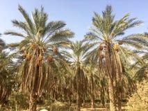 棕榈树和新鲜的棕榈在Ouargla阿尔及利亚结果实收获 棕榈收获城市的Ouargla一 库存图片