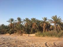 棕榈树和新鲜的棕榈在Ouargla阿尔及利亚结果实收获 棕榈收获cit的Ouargla一 免版税库存图片