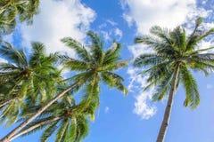 棕榈树和蓝天田园诗照片背景的 有美丽的叶子的绿色椰子树 免版税库存图片