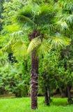 棕榈树在公园 亚热带气候 图库摄影