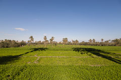 棕榈树在农场 免版税库存图片