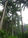 棕榈树在巴巴多斯 库存图片