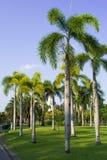 棕榈树在庭院里 免版税库存照片