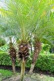 棕榈树在庭院里 免版税库存图片